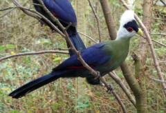 Movie of some turacos