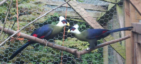 White-crested Turacos