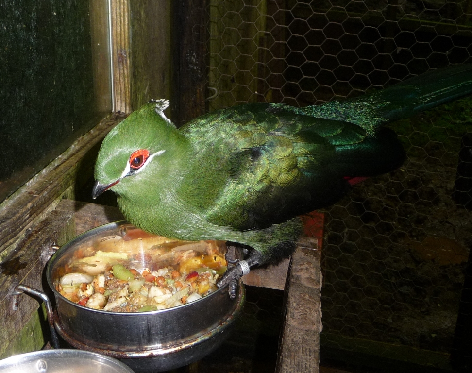 Blackbilled Turaco on his food bowl