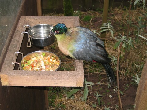Movie of an adult Purple-crested Turaco feeding.